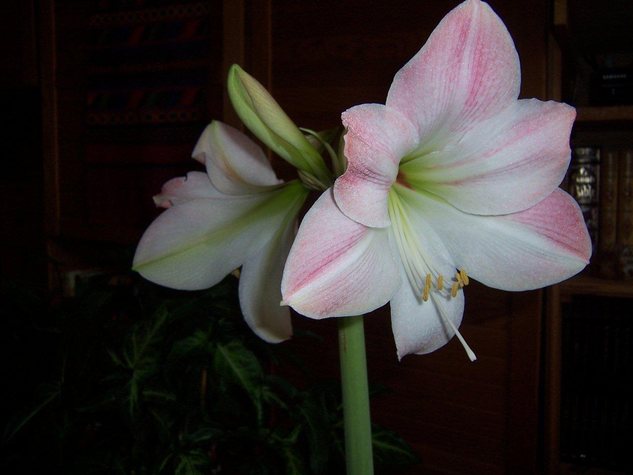 Temps gris c en roussillon for Amaryllis ne fleurit pas