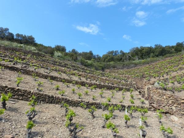 ... vignobles de Banyuls,